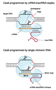 Chimeric_crRNA-tracrRNA