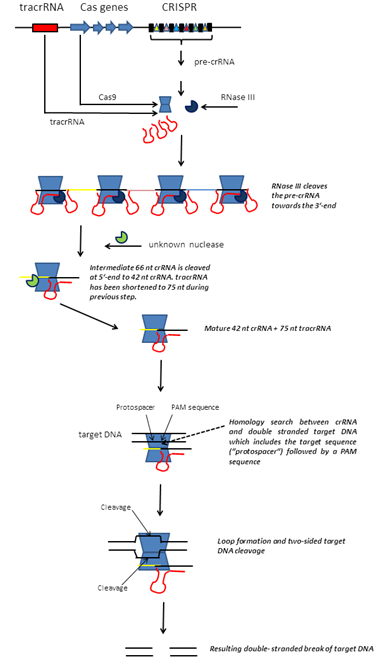 CRISPR_Cas_Overview